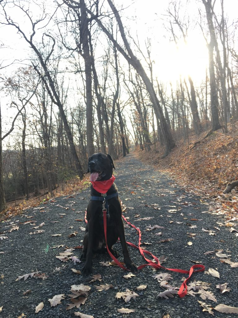 Miles, a handsome black Lab-Dane mix, wearing a wide smile while on a hike, along with his red neckerchief.
